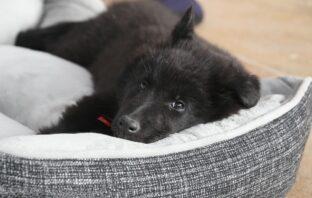 sort hvalp i hundeseng